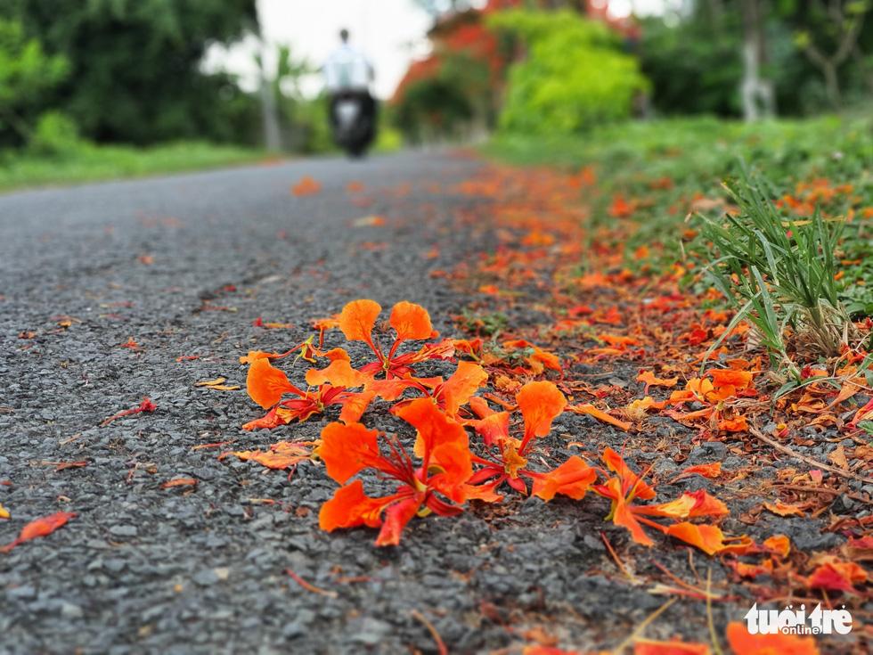 Đẹp ngỡ ngàng những tuyến đường phủ đầy hoa phượng ở miền Tây - Ảnh 10.