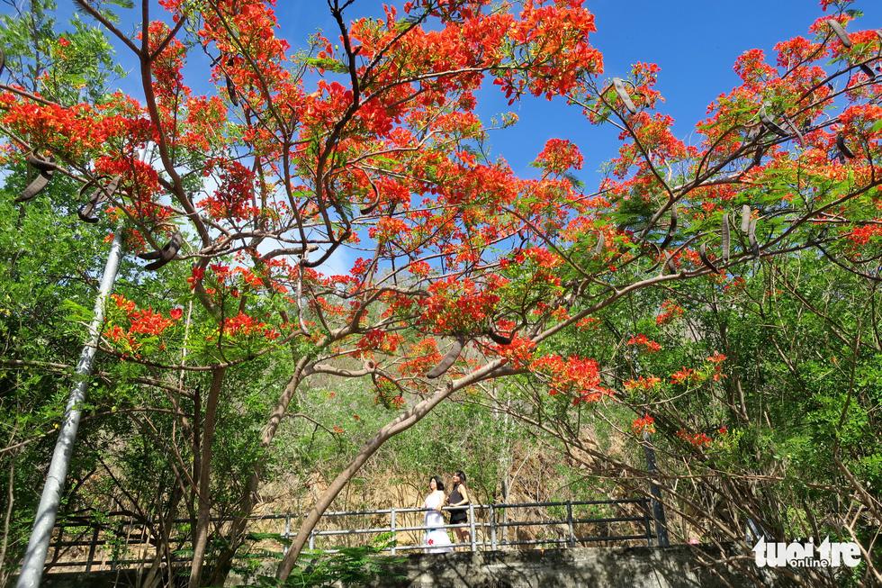 Rợp trời con đường hoa phượng đỏ ở Vũng Tàu - Ảnh 2.