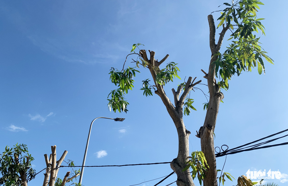 Hàng loạt cây xanh thành phố Vinh bị vặt trụi trong nắng nóng 40 độ - Ảnh 11.