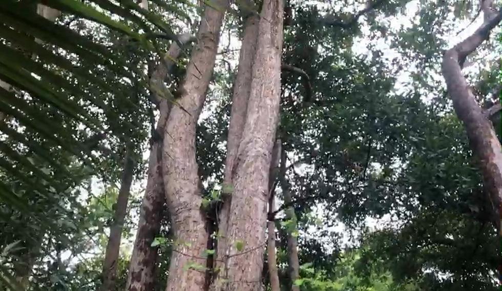Chuẩn bị chặt hàng ngàn cây dầu tự nhiên ở Côn Đảo để làm khu tái định cư - Ảnh 4.
