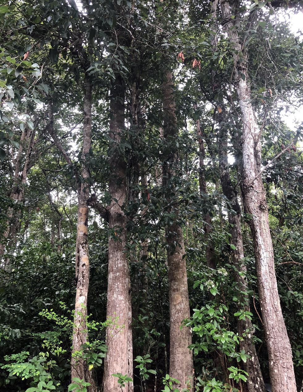 Chuẩn bị chặt hàng ngàn cây dầu tự nhiên ở Côn Đảo để làm khu tái định cư - Ảnh 5.
