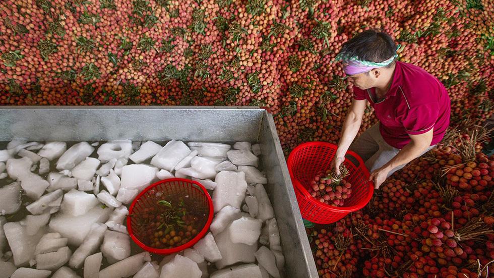 Vụ mùa đặc biệt của vải thiều Lục Ngạn - Ảnh 4.