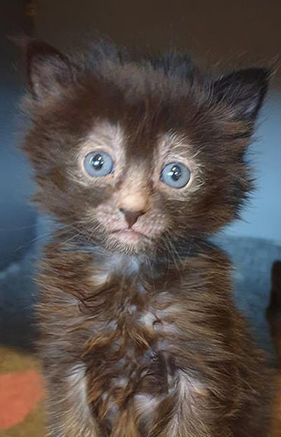 Mèo ma sói giá 50 triệu một con - Ảnh 2.