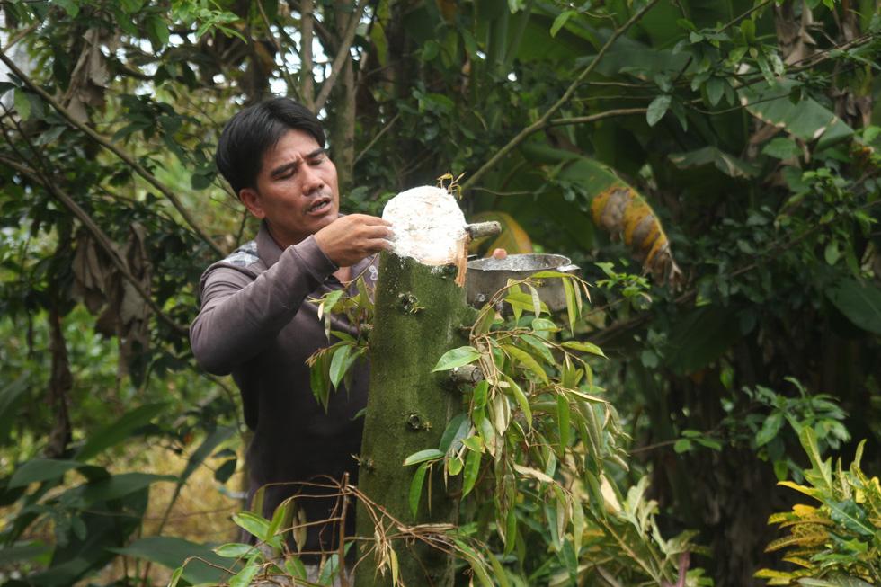 Nhà vườn cưa cây, bôi vôi để cứu cây sầu riêng - Ảnh 5.