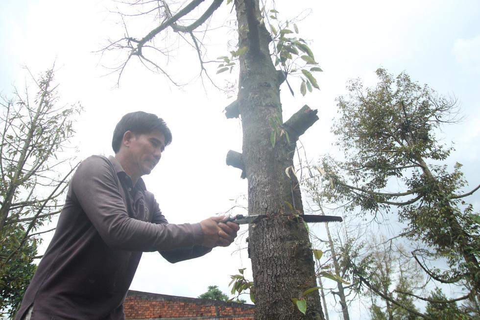 Nhà vườn cưa cây, bôi vôi để cứu cây sầu riêng - Ảnh 3.