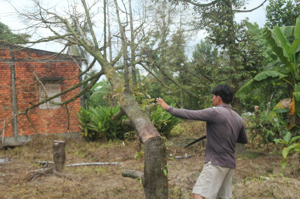 Nhà vườn cưa cây, bôi vôi để cứu cây sầu riêng - Ảnh 4.