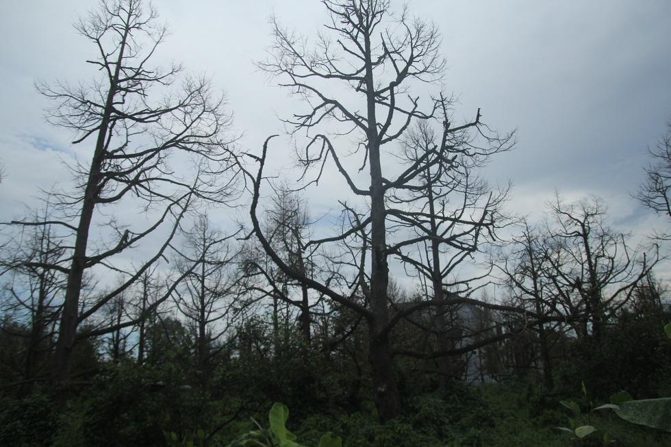 Nhà vườn cưa cây, bôi vôi để cứu cây sầu riêng - Ảnh 8.