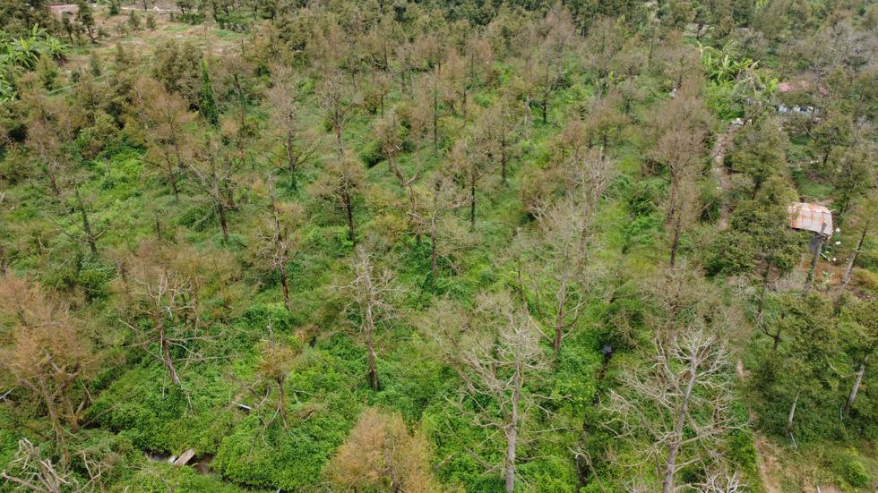 Nhà vườn cưa cây, bôi vôi để cứu cây sầu riêng - Ảnh 9.
