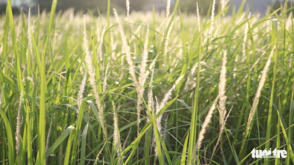 Bạn trẻ Sài Gòn thích thú check-in với cánh đồng cỏ hoang lau trắng - Ảnh 3.