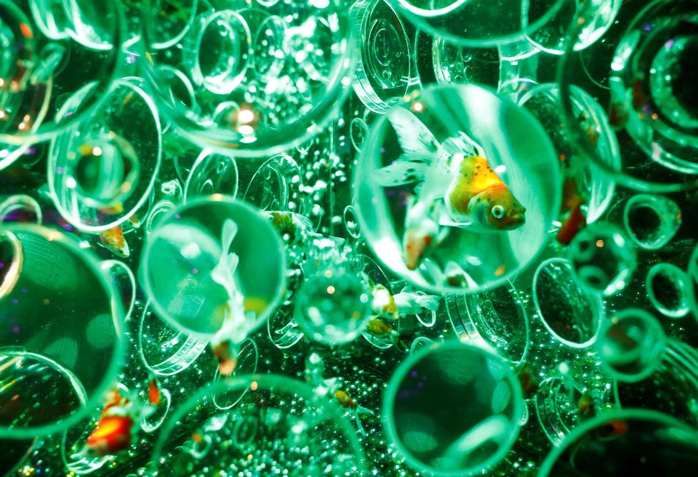 Thế giới lung linh như mộng ảo của cá cảnh Nhật - Ảnh 6.