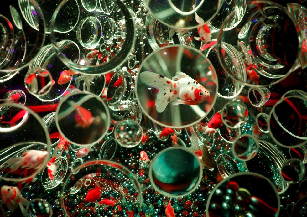 Thế giới lung linh như mộng ảo của cá cảnh Nhật - Ảnh 2.