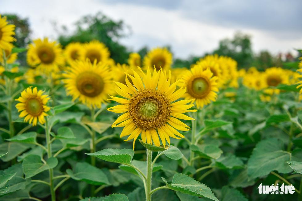 Thỏa thích tung tẩy giữa cánh đồng hoa rực rỡ tại quận 9 - Ảnh 5.