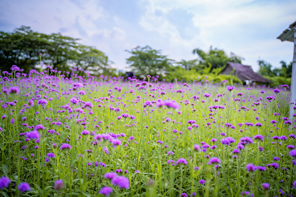 Cánh đồng hoa oải hương thảo đầu tiên tại Hà Nội hút hồn du khách - Ảnh 2.