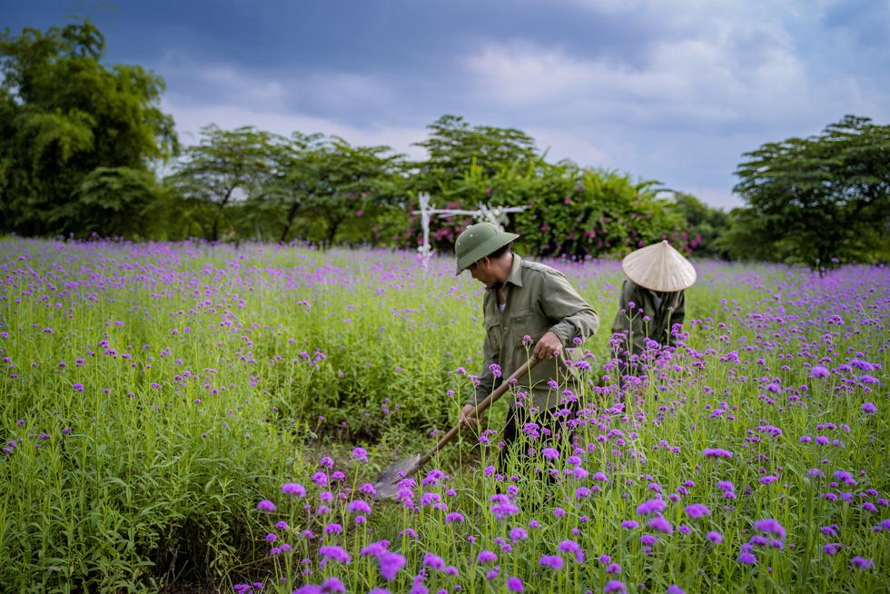 Cánh đồng hoa oải hương thảo đầu tiên tại Hà Nội hút hồn du khách - Ảnh 8.