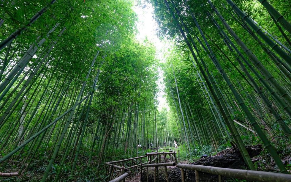 Lạc vào rừng trúc Mù Cang Chải đẹp như phim kiếm hiệp