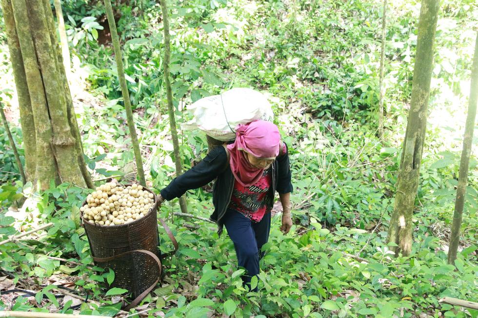 Mùa thu hoạch bòn bon ăn hoài mệt nghỉ ở xứ Quảng - Ảnh 3.