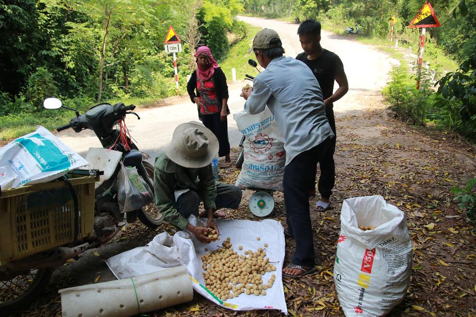 Mùa thu hoạch bòn bon ăn hoài mệt nghỉ ở xứ Quảng - Ảnh 9.