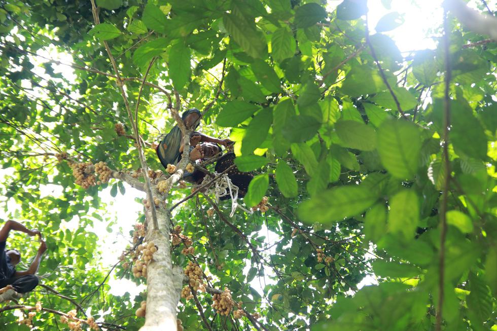 Mùa thu hoạch bòn bon ăn hoài mệt nghỉ ở xứ Quảng - Ảnh 6.