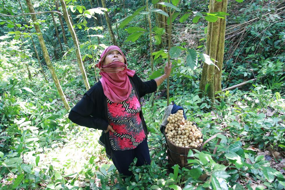 Mùa thu hoạch bòn bon ăn hoài mệt nghỉ ở xứ Quảng - Ảnh 8.