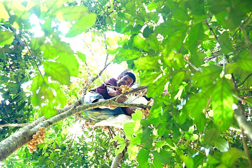 Mùa thu hoạch bòn bon ăn hoài mệt nghỉ ở xứ Quảng - Ảnh 1.