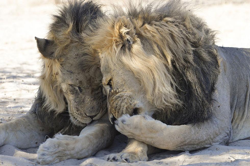 Ảnh động vật vui nhộn: Sư tử tám chuyện, mẹ con voi cười tít mắt giữa đầm hoa - Ảnh 2.