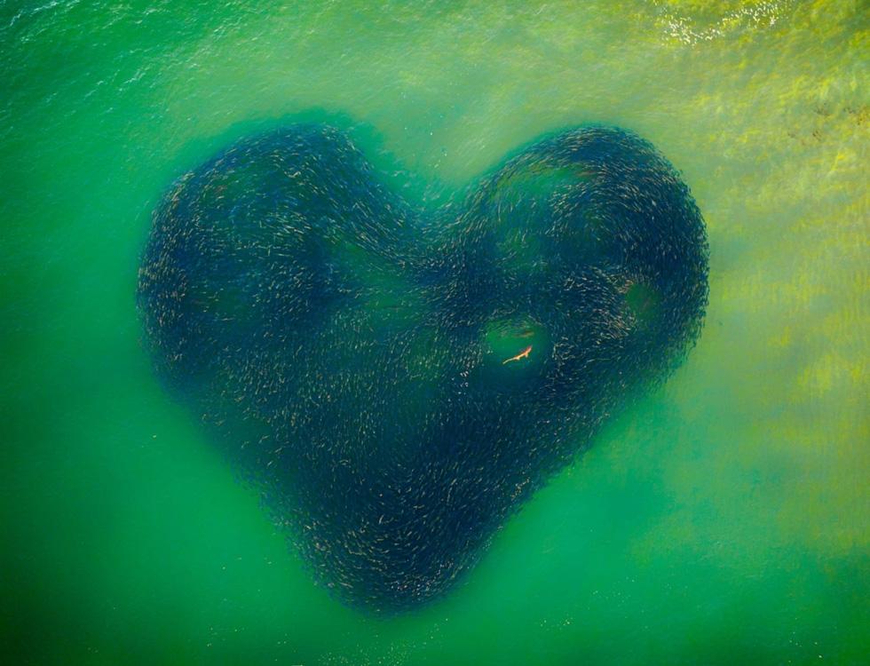 Ảnh đàn cá bơi thành hình trái tim đoạt giải Bức ảnh của năm chụp bằng flycam - Ảnh 1.