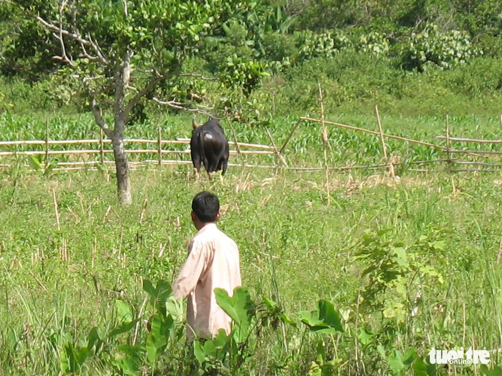 11 hậu duệ bò tót rừng ở Ninh Thuận... kêu cứu - Ảnh 5.