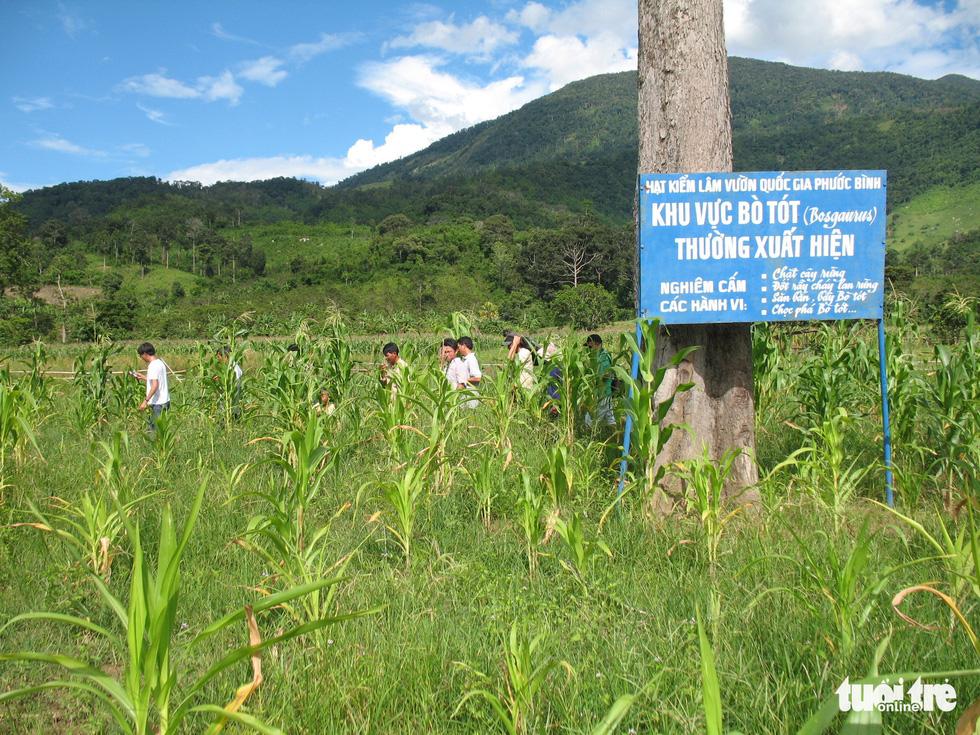 11 hậu duệ bò tót rừng ở Ninh Thuận... kêu cứu - Ảnh 6.
