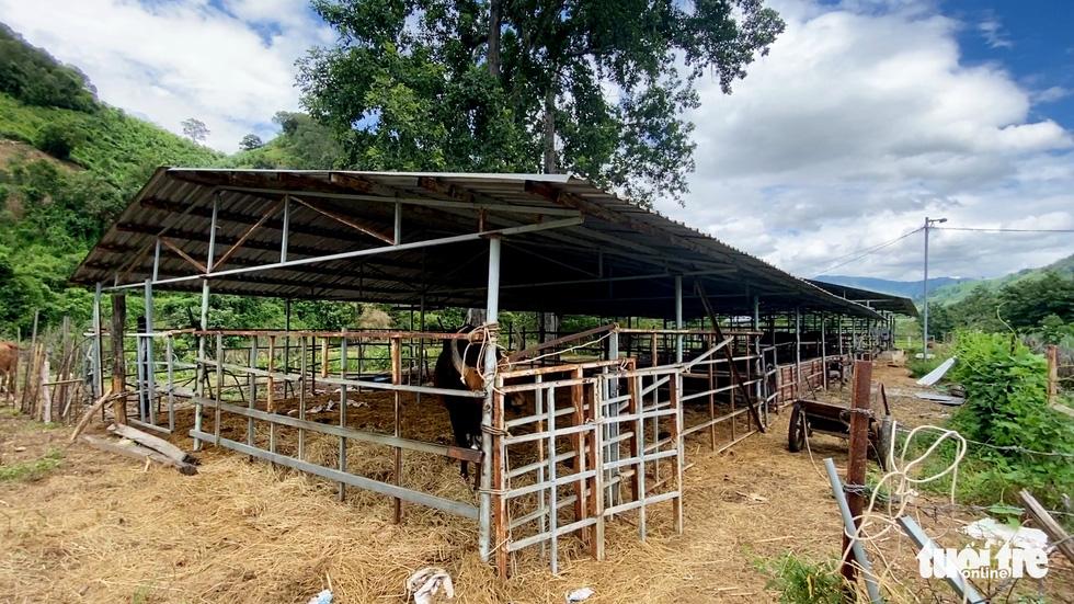 11 hậu duệ bò tót rừng ở Ninh Thuận... kêu cứu - Ảnh 2.