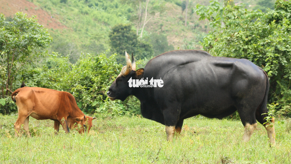 Chỉ 100 triệu đồng/tháng thôi sẽ cứu được hậu duệ bò tót Ninh Thuận - Ảnh 6.