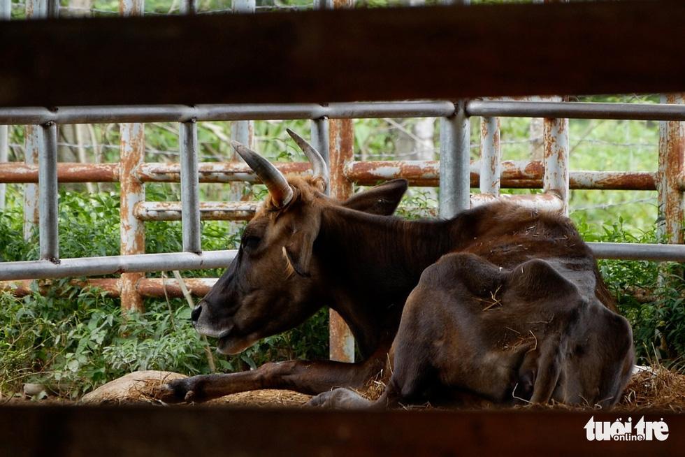 11 hậu duệ bò tót rừng ở Ninh Thuận... kêu cứu - Ảnh 1.
