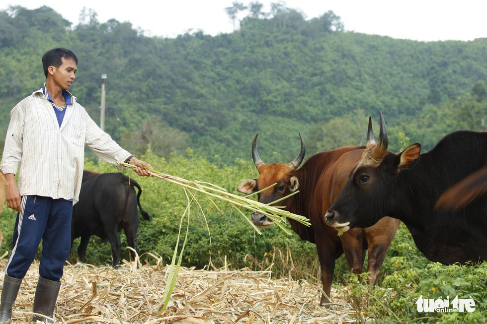 Chỉ 100 triệu đồng/tháng thôi sẽ cứu được hậu duệ bò tót Ninh Thuận - Ảnh 8.