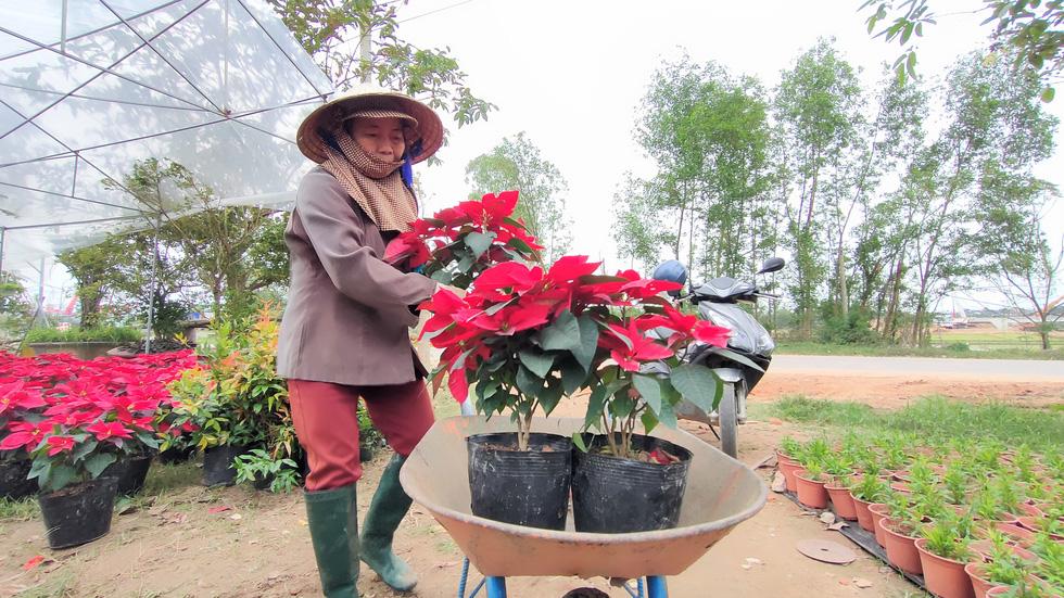 Người trồng hoa tết ở Quảng Nam phấn khởi vì được mùa, được giá - Ảnh 6.