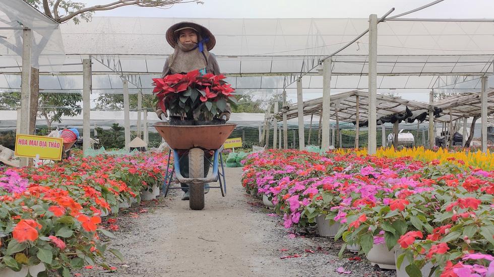 Người trồng hoa tết ở Quảng Nam phấn khởi vì được mùa, được giá - Ảnh 2.