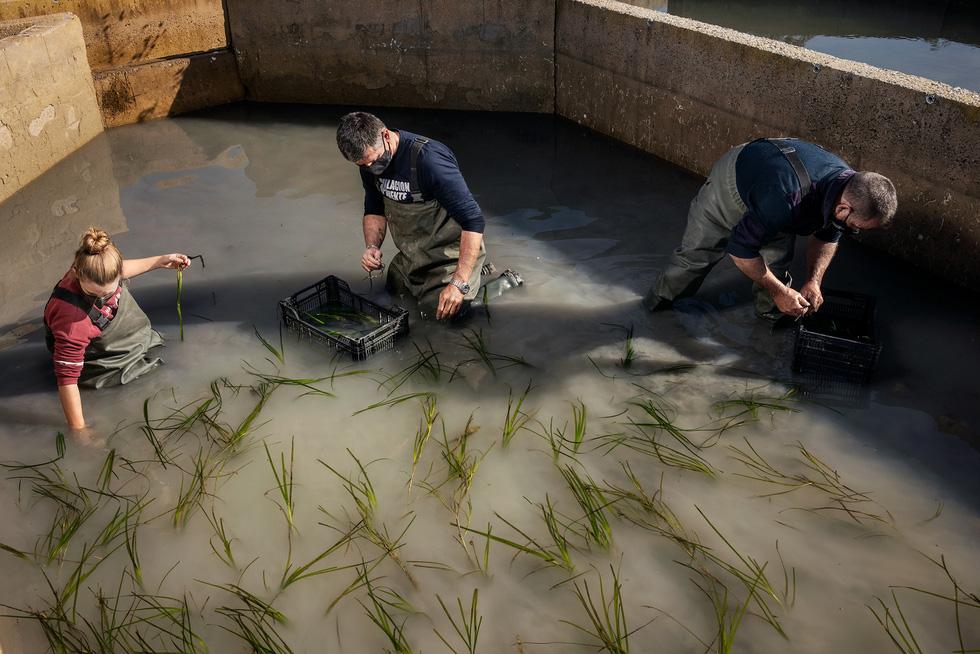 Trồng cỏ biển lấy... gạo - Ảnh 5.