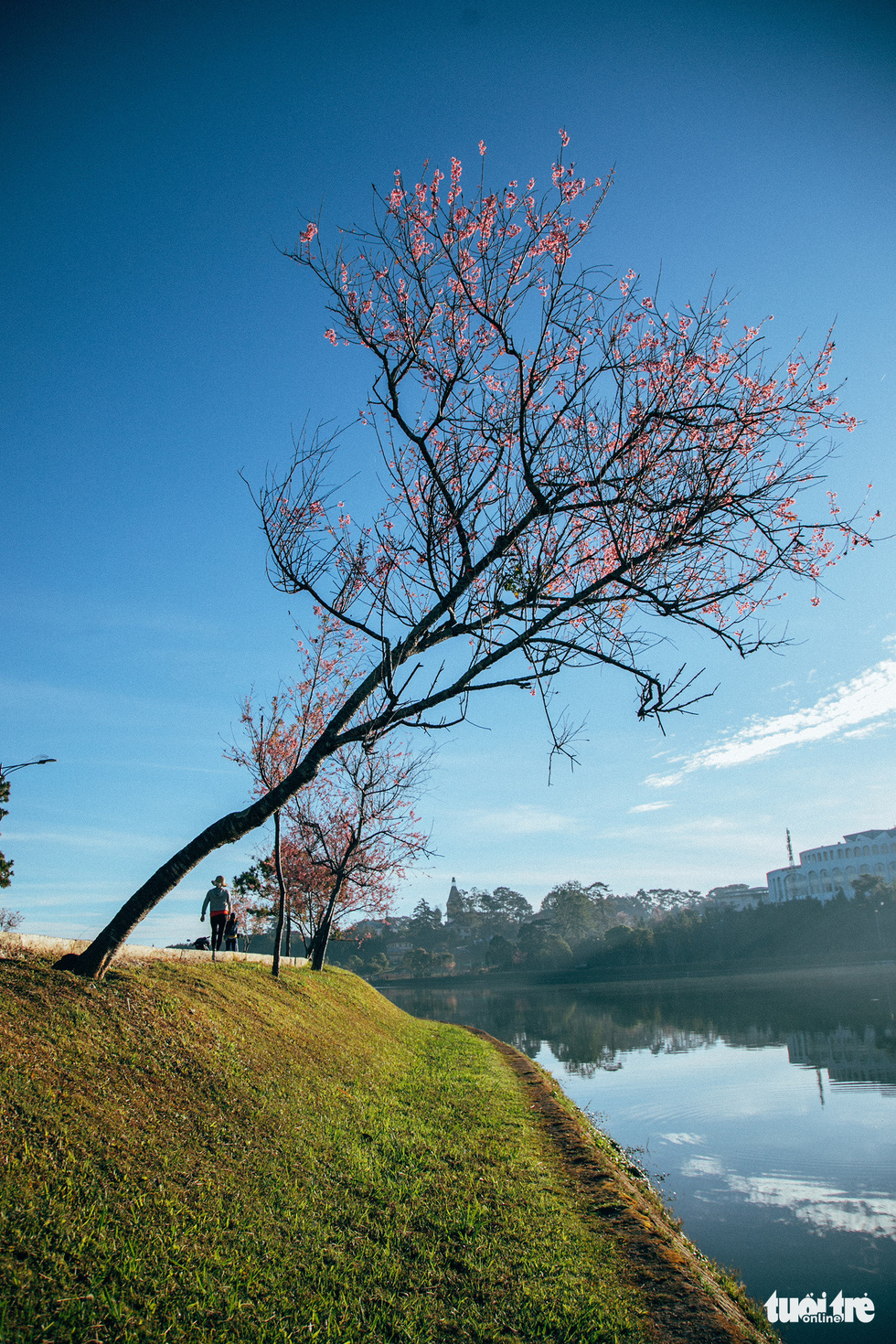On New Year's Eve, cherry blossoms dyed the city of sad pink - Photo 7.