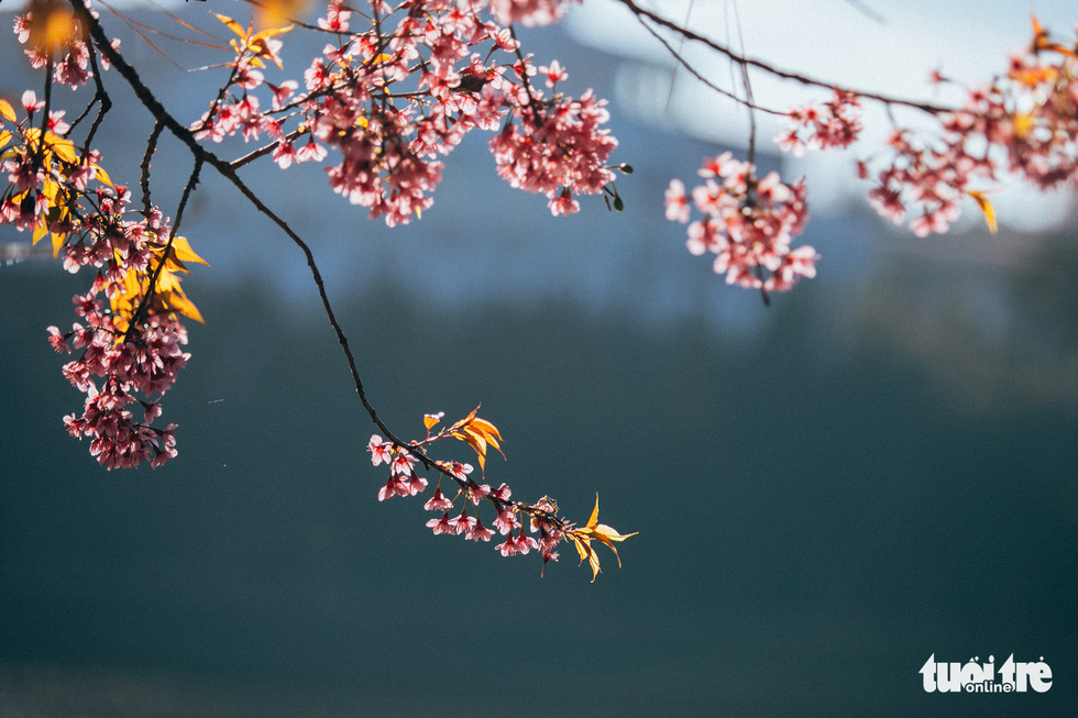 On Tet 29, cherry blossoms dyed the city of sad pink - Photo 6.