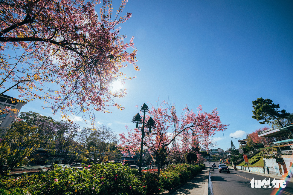 On Tet 29, cherry blossoms dyed the city of sad pink - Picture 1.