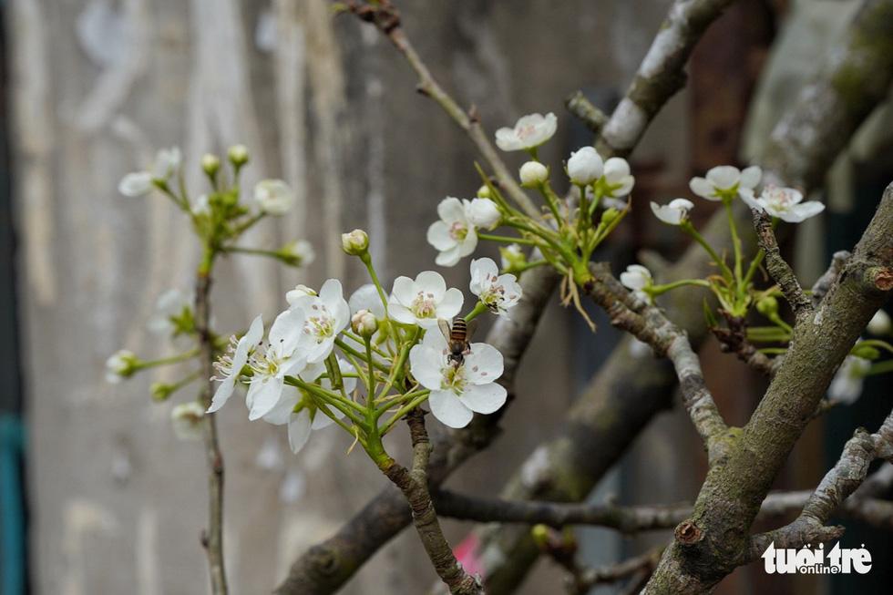Ngẩn ngơ ngắm hoa lê trắng muốt xuống phố Hà thành - Ảnh 9.