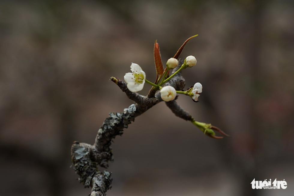 Ngẩn ngơ ngắm hoa lê trắng muốt xuống phố Hà thành - Ảnh 6.
