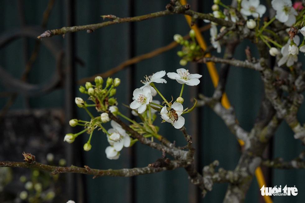 Ngẩn ngơ ngắm hoa lê trắng muốt xuống phố Hà thành - Ảnh 1.
