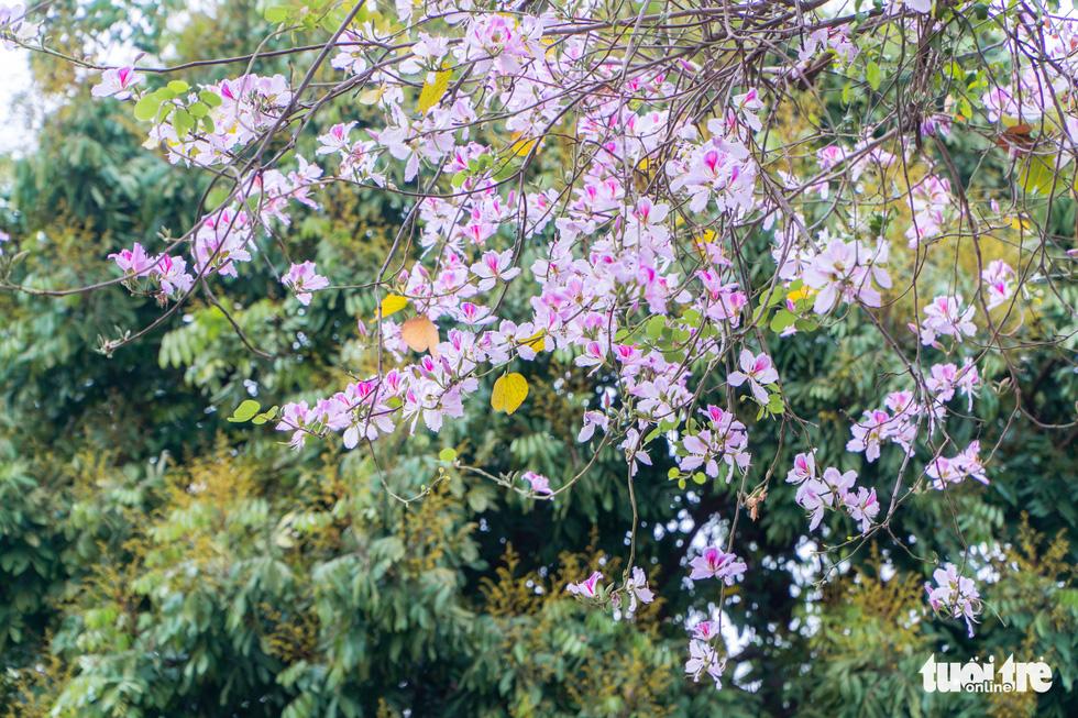 Ngắm hoa ban nở rực rỡ trên đường phố thủ đô - Ảnh 7.