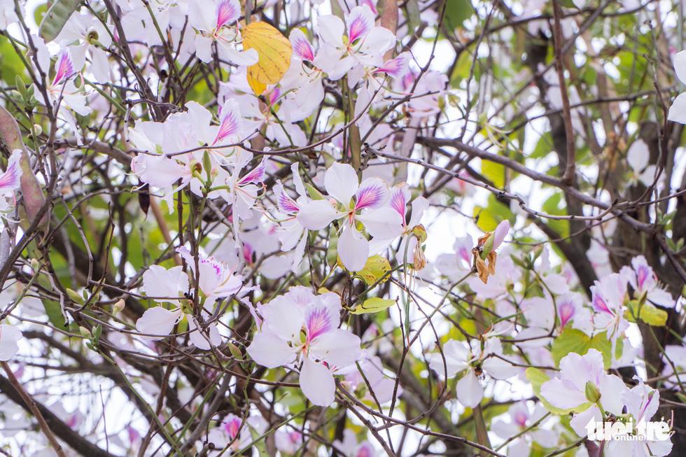 Ngắm hoa ban nở rực rỡ trên đường phố thủ đô - Ảnh 10.