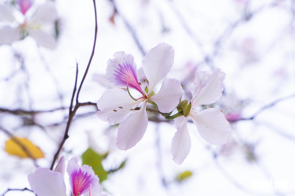 Ngắm hoa ban nở rực rỡ trên đường phố thủ đô - Ảnh 4.