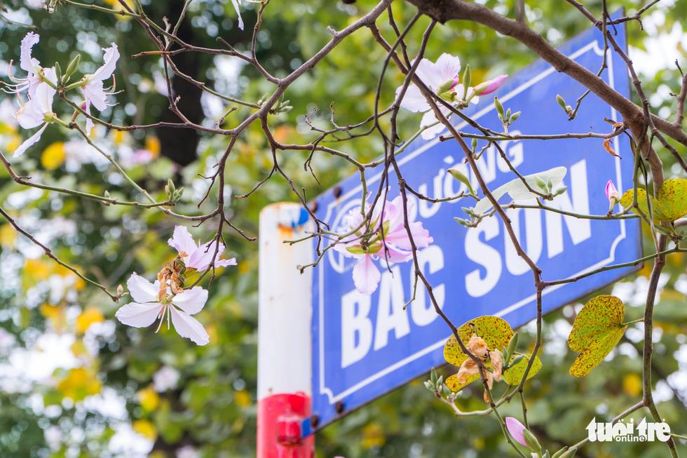 Ngắm hoa ban nở rực rỡ trên đường phố thủ đô - Ảnh 2.