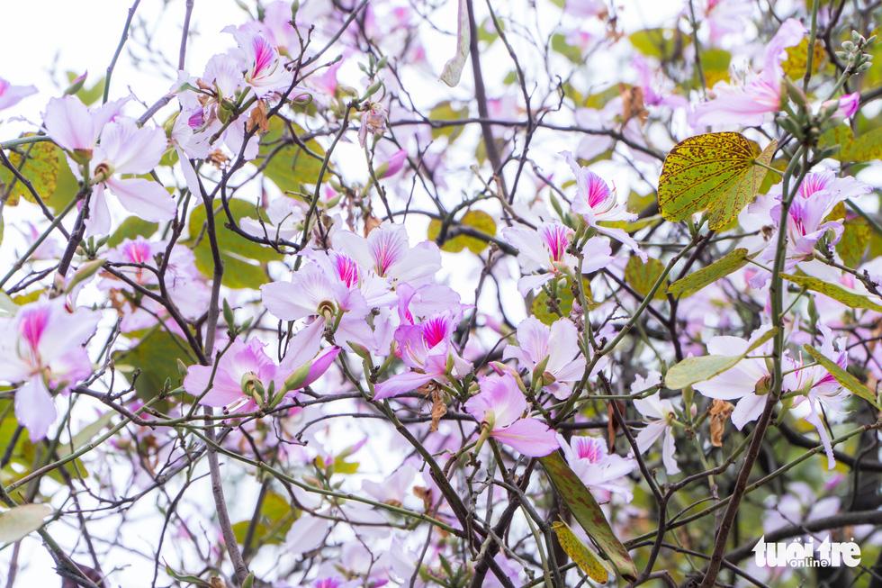 Ngắm hoa ban nở rực rỡ trên đường phố thủ đô - Ảnh 1.