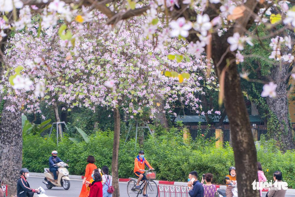 Ngắm hoa ban nở rực rỡ trên đường phố thủ đô - Ảnh 5.