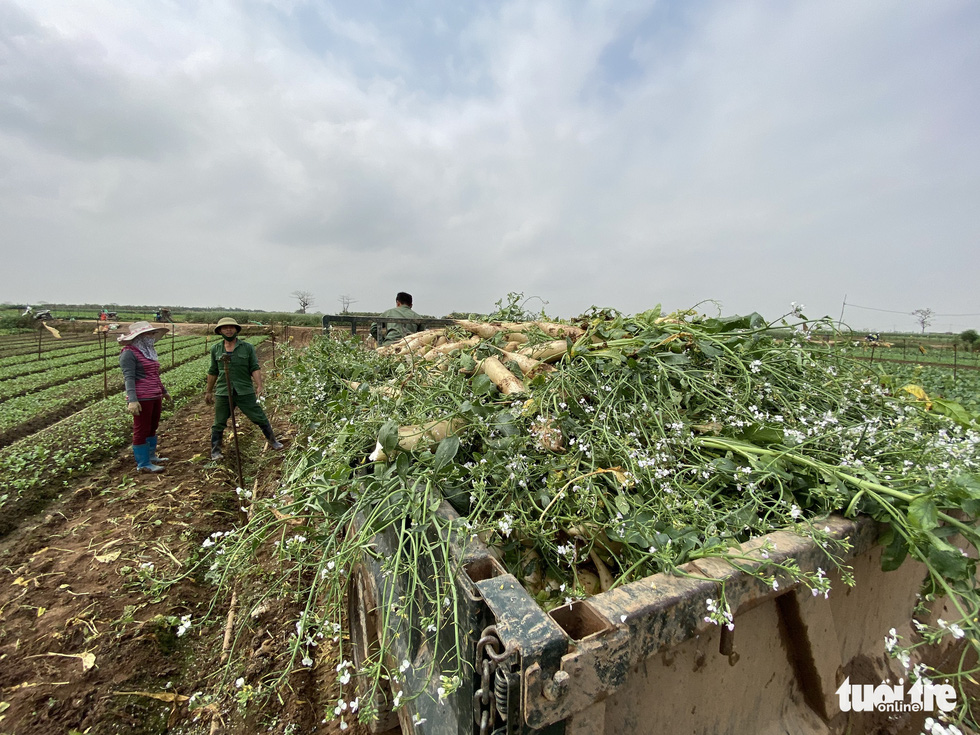 Bán không ai mua, nông dân chở cả ôtô rau đổ xuống sông Hồng - Ảnh 5.