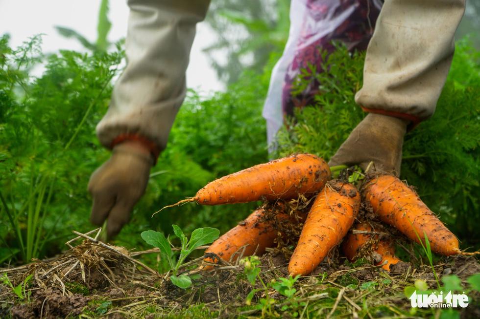 Dân Cẩm Giàng phấn khởi vì cà rốt được mùa, giá tốt bất chấp dịch COVID-19 - Ảnh 2.