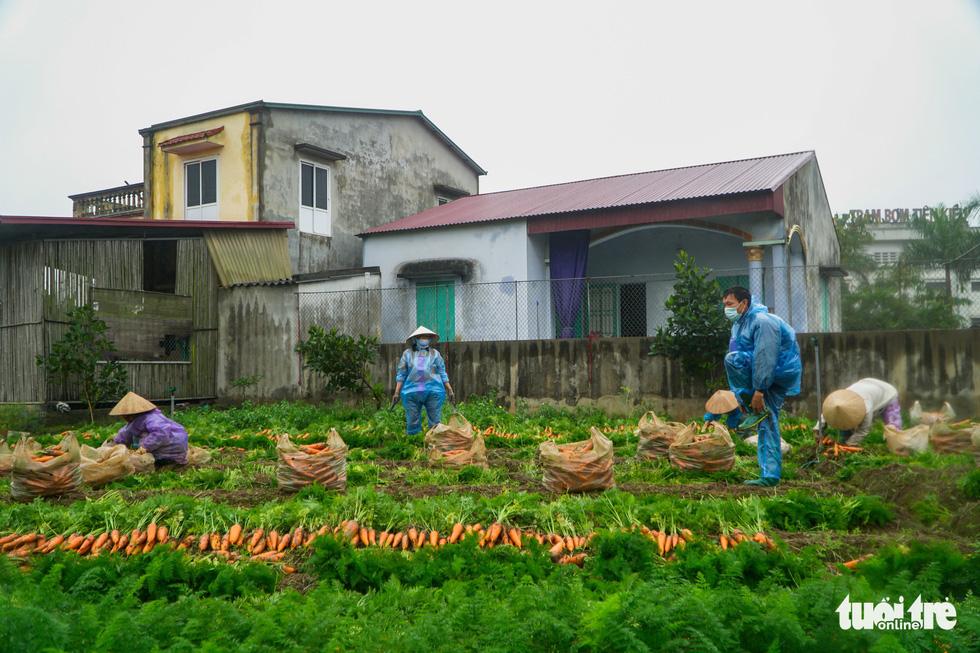 Dân Cẩm Giàng phấn khởi vì cà rốt được mùa, giá tốt bất chấp dịch COVID-19 - Ảnh 3.